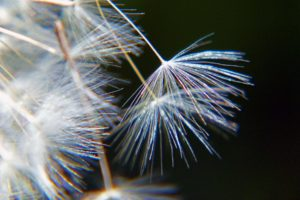 dandelion-56946 (1)